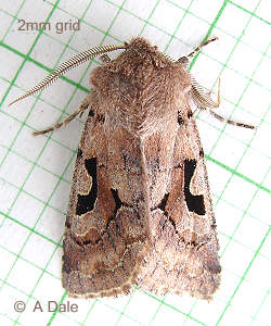 male Hebrew character moth