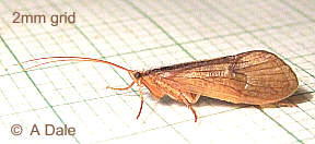 Caddis fly, Micropterna sequax