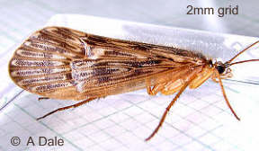 Caddis fly, Halesus radiatus