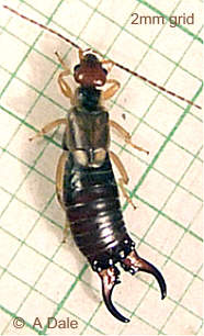 Male Common Earwig.