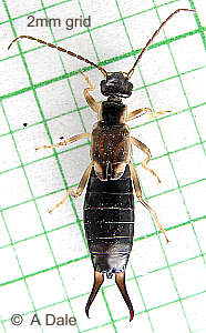 Female Common Earwig.