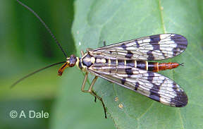 Scorpion Fly - female