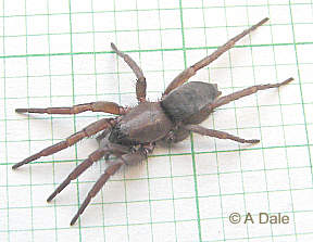 Mouse Spider male