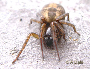Amaurobius similis spider - head view