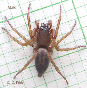Male, Clubiona species