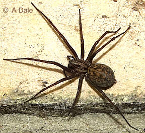 Cobweb spider female