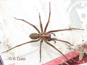 Cobweb spider male