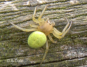 Green orb spider
