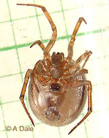 Female Steatoda bipunctata - 