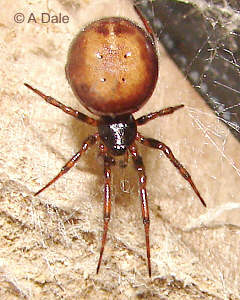 Male Steatoda bipunctata - 