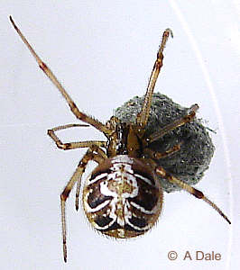 Theridion sisyphium with egg sack