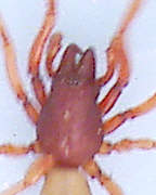 Woodlouse Spider  - carapace detail
